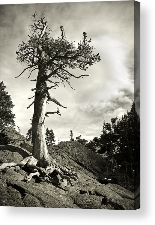 Tree Acrylic Print featuring the photograph A Tough Life by Marilyn Hunt