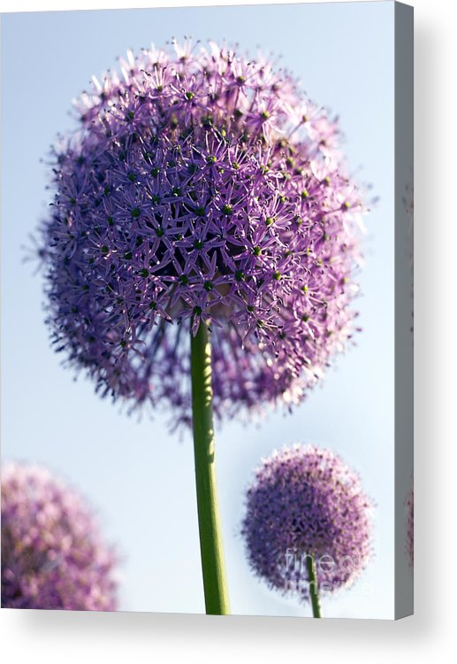 Allium Acrylic Print featuring the photograph Allium Flower by Tony Cordoza
