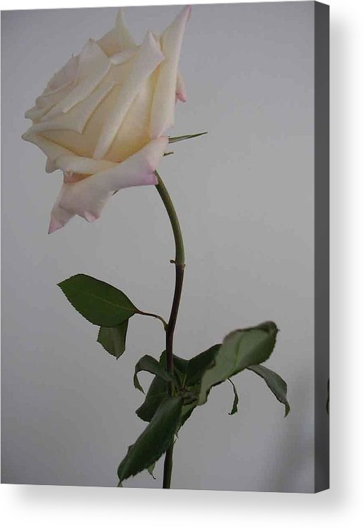 Floral Acrylic Print featuring the photograph Anna Rose by Nancy Ferrier