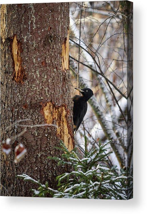 Finland Acrylic Print featuring the photograph Black Woodpecker Peek by Jouko Lehto