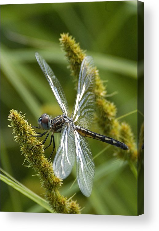 Dragonfly Acrylic Print featuring the photograph Blue Dasher Dragonfly-female by Neil Doren