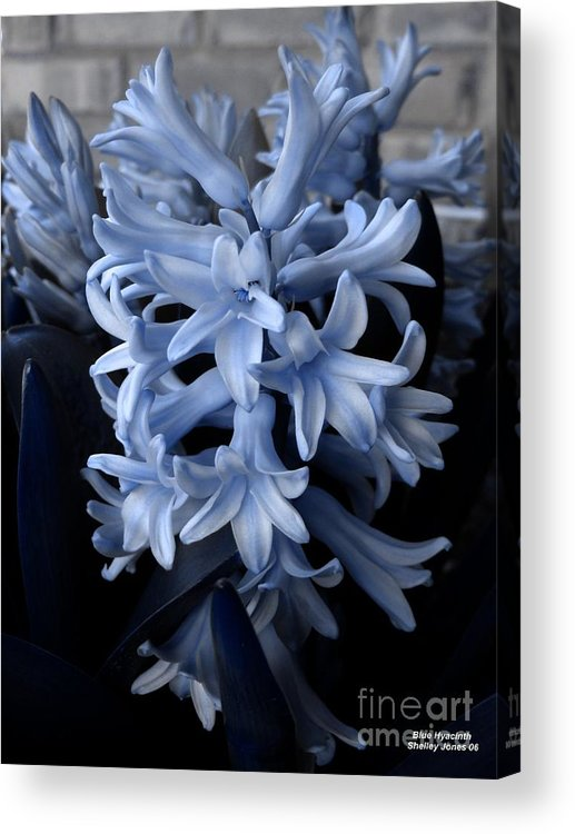 Blue Acrylic Print featuring the photograph Blue Hyacinth by Shelley Jones