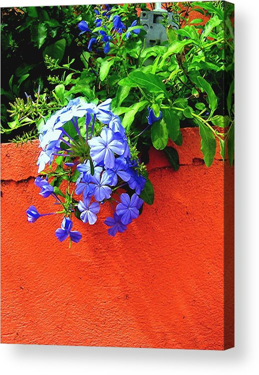 Flowers Acrylic Print featuring the photograph Blue On Red by Caroline Urbania Naeem
