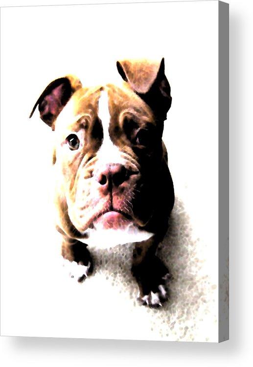 Bulldog Acrylic Print featuring the digital art Bulldog Puppy by Michael Tompsett