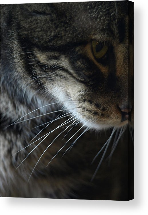 Tabby Acrylic Print featuring the photograph Cats Eye by Kim