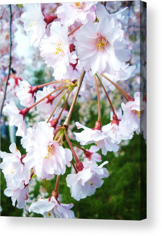 Flowers Acrylic Print featuring the photograph Cherry Blossom Closeup by Jeanette Oberholtzer