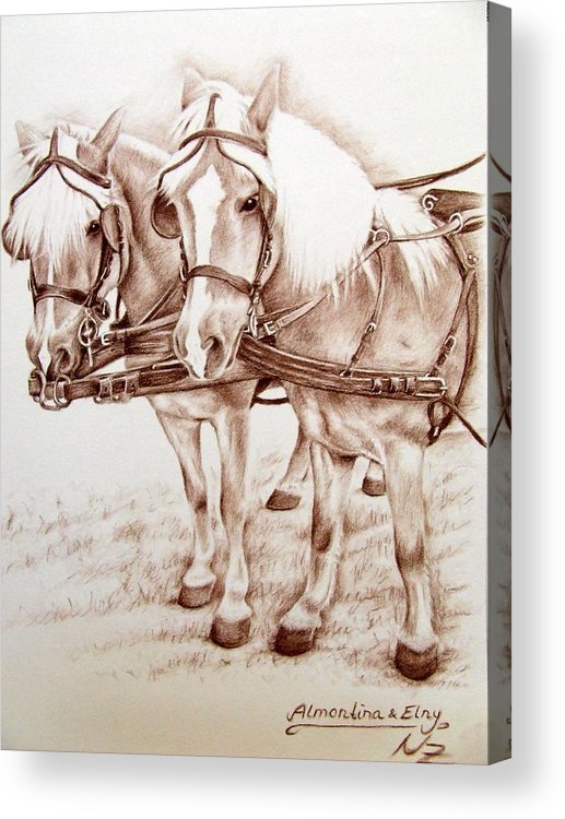 Horses Acrylic Print featuring the drawing Coach Horses by Nicole Zeug