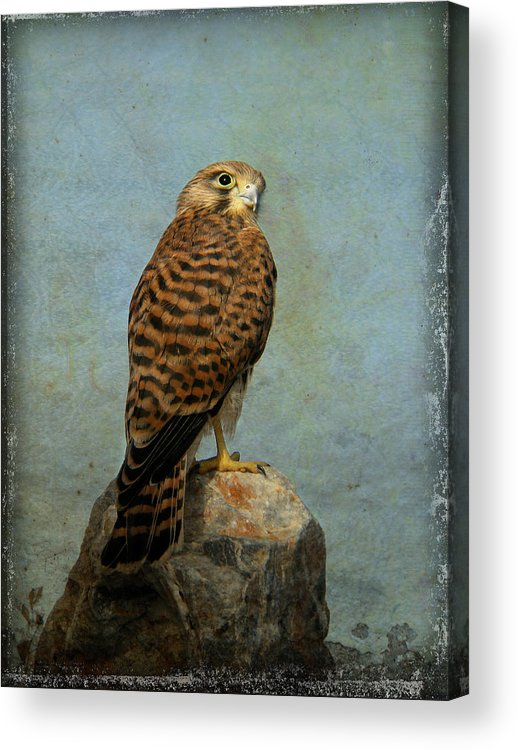 Falco Tinnunculus Acrylic Print featuring the photograph Common Kestrel by Perry Van Munster
