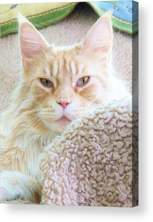 Maine Coon Cat Acrylic Print featuring the painting Complete Satisfaction by Judy Via-Wolff