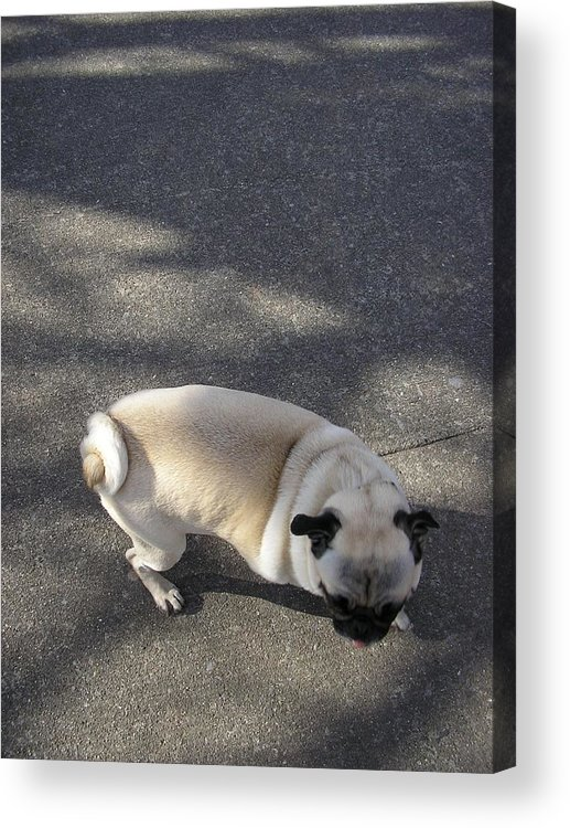 Dog Acrylic Print featuring the photograph Curtail by Christina Gardner