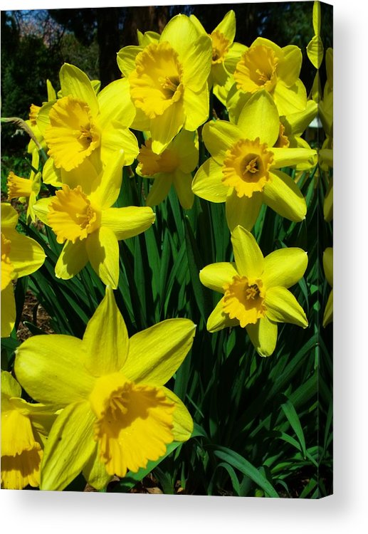 Flowers Acrylic Print featuring the photograph Daffodils 2010 by Anna Villarreal Garbis