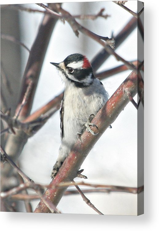 Bird Acrylic Print featuring the photograph Downy Woodpecker In An Apple Tree by Laurie With