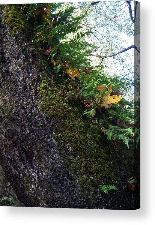 Tree Acrylic Print featuring the photograph Eastside Coloers by Ken Day