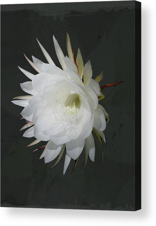 Flower Acrylic Print featuring the photograph Epiphyte Blossom - Epiphyllum Oxypetalum by Mother Nature