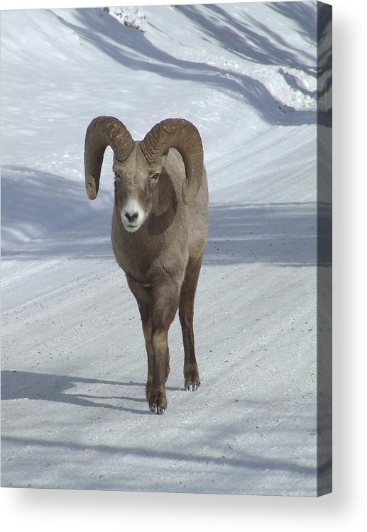 Bighorn Sheep Acrylic Print featuring the photograph Farewell To The King by Tiffany Vest