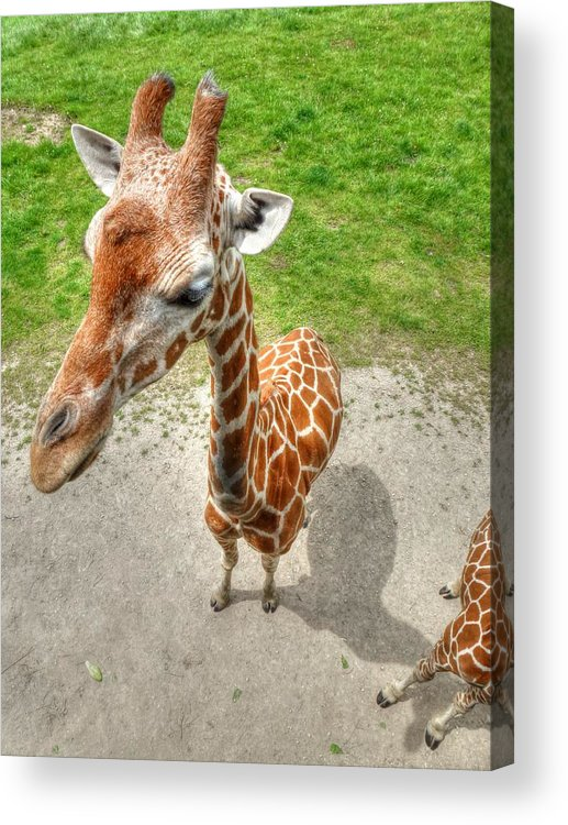 Giraffe Acrylic Print featuring the photograph Giraffe's Point Of View by Michael Garyet