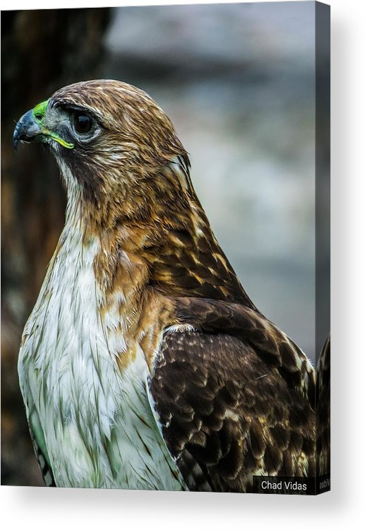 Red-tail Hawk Acrylic Print featuring the photograph Glory by Chad Vidas