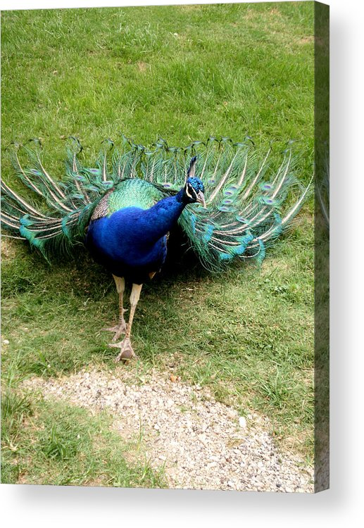 Birds Acrylic Print featuring the photograph H R H by Jan Amiss Photography
