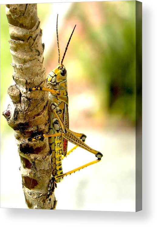 Grasshopper Acrylic Print featuring the photograph Hanging Out by Phil Bishop