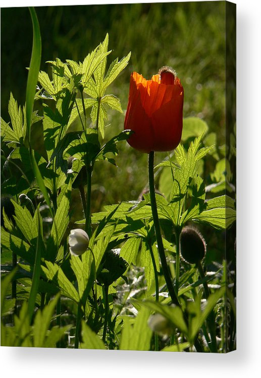 Poppy Acrylic Print featuring the photograph Highlight by Natalie LaRocque