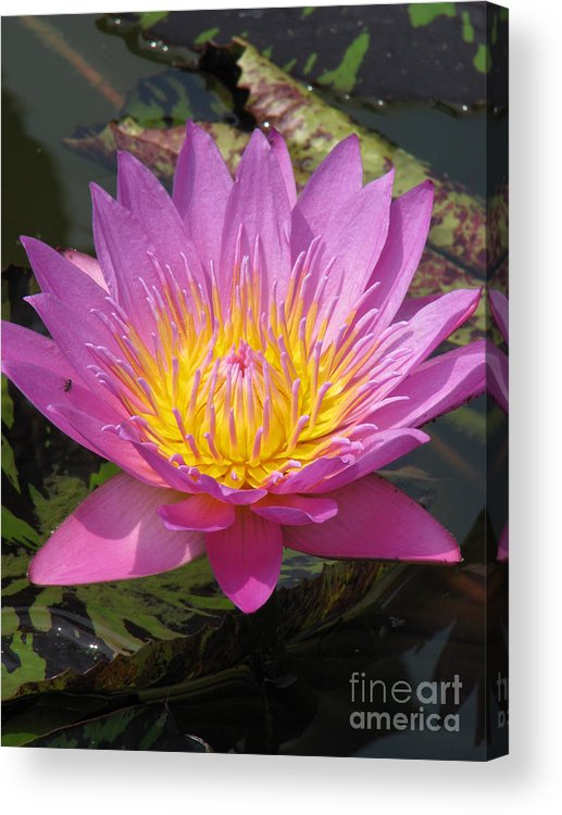 Lotus Acrylic Print featuring the photograph In Position by Amanda Barcon