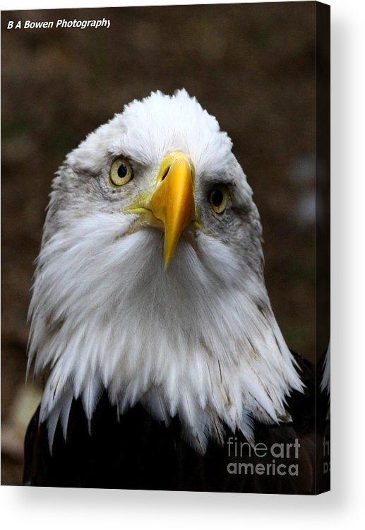 American Bald Eagle Acrylic Print featuring the photograph Inquisitive Eagle by Barbara Bowen