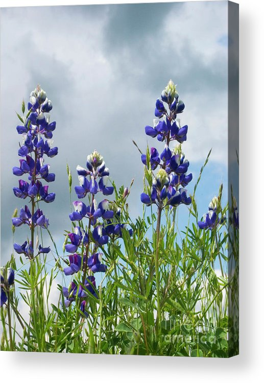 Lupine Acrylic Print featuring the photograph Lupines Against The Sky by Jim And Emily Bush