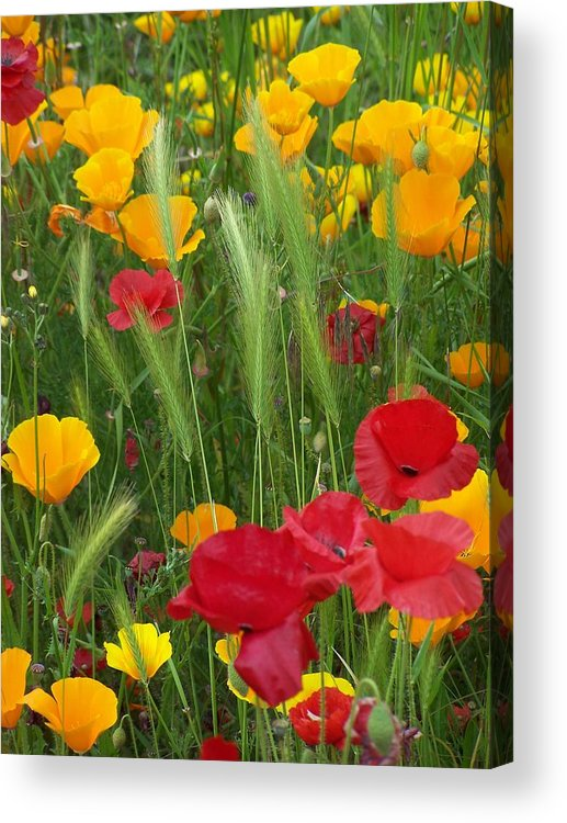 Poppies Acrylic Print featuring the photograph Mixed Poppies by Gene Ritchhart