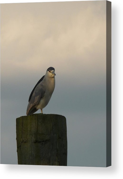 Heron Birds Waterfowl Acrylic Print featuring the photograph Night Heron At Sundown by Margie Avellino