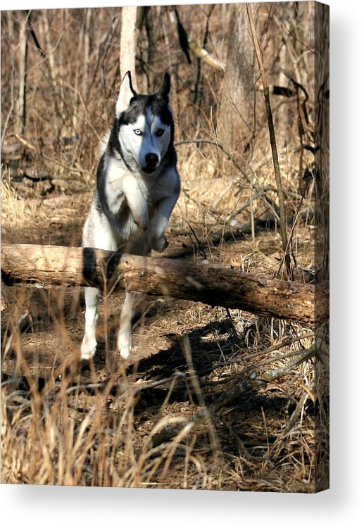 Animal Acrylic Print featuring the photograph No Problem At All by David Dunham