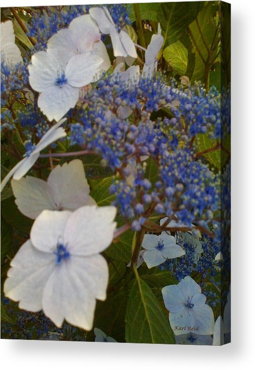 Flowers Acrylic Print featuring the photograph Paler Shades Of Blue by Karl Reid