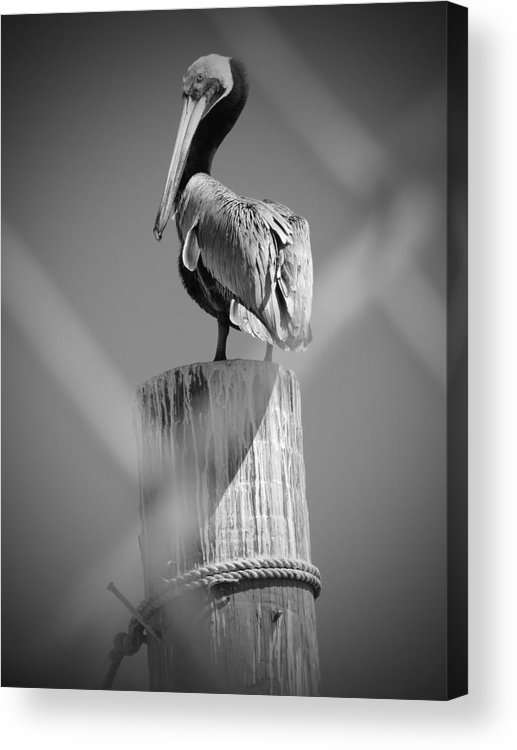 Nature Photographs Acrylic Print featuring the photograph Pelican Perched by Megan Verzoni