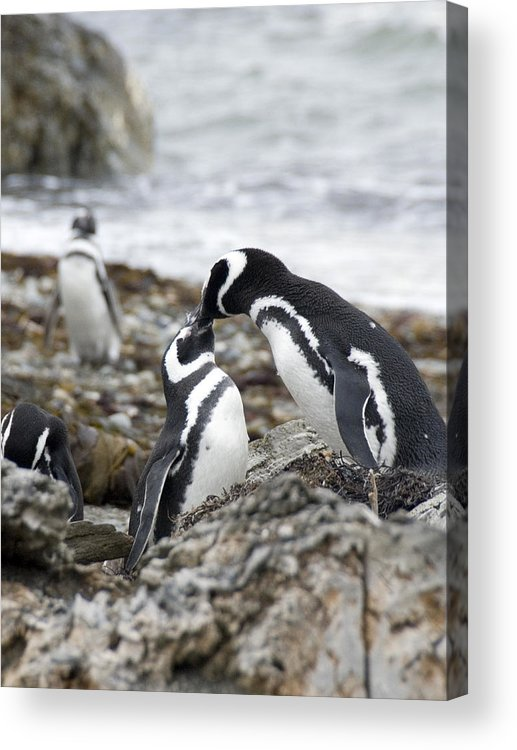 Penguins Acrylic Print featuring the photograph Penguin Love by Charles Ridgway