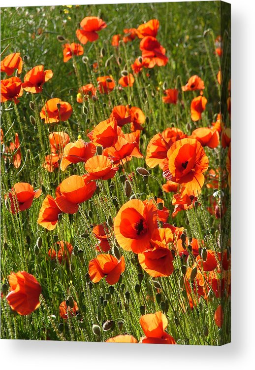 Poppies Acrylic Print featuring the photograph Poppies by Bob Kemp