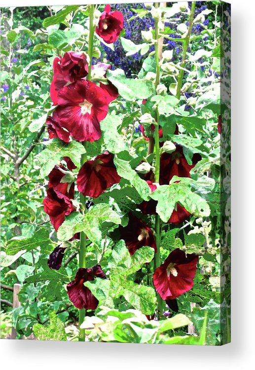 Flowers Acrylic Print featuring the photograph Red Hollyhocks by Stephanie Moore