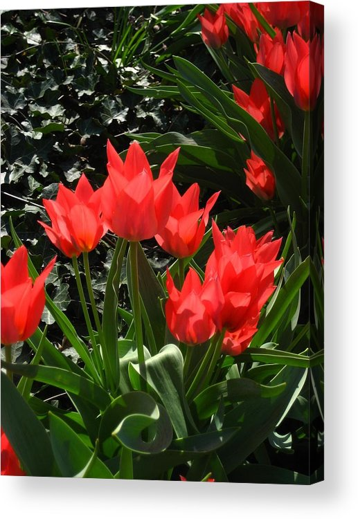 Flowers Acrylic Print featuring the photograph Red Tulips by Sherry Oliver
