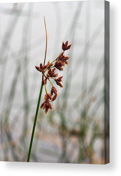 Jouko Lehto Acrylic Print featuring the photograph Reeds by Jouko Lehto