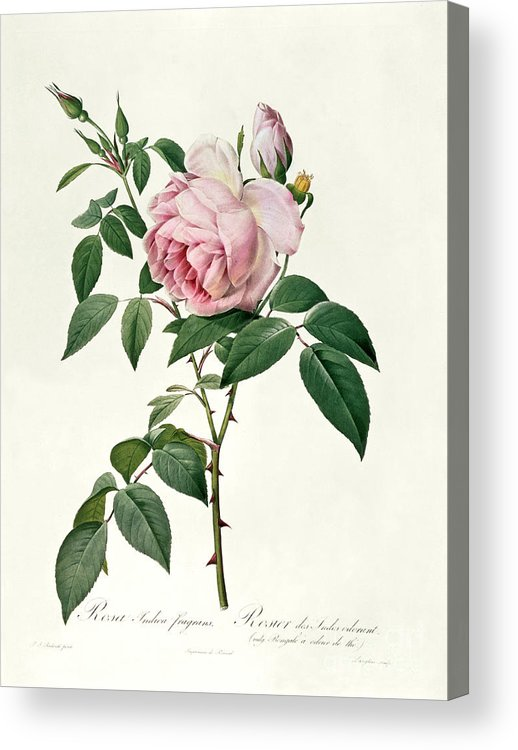 Rosa Acrylic Print featuring the drawing Rosa Chinensis And Rosa Gigantea by Joseph Pierre Redoute