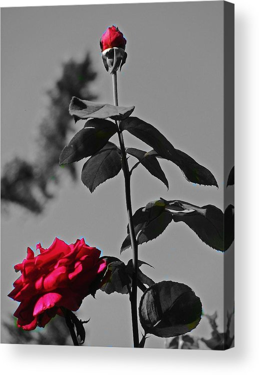 Roses Acrylic Print featuring the photograph Shades Of Red by Nikki Mansur