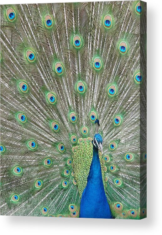 Peacock Acrylic Print featuring the photograph Showing Off by Margaret Bobb