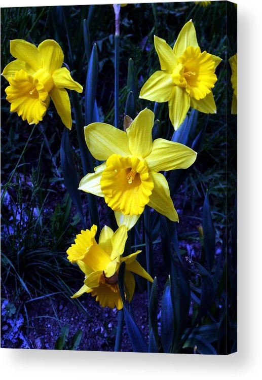 Flowers Acrylic Print featuring the photograph Spring Daffodills by Tiffany Vest