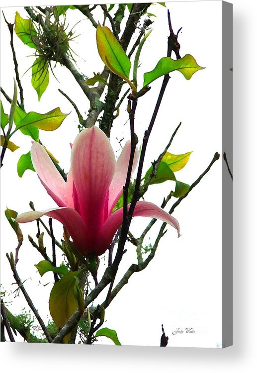 Pink Acrylic Print featuring the photograph Star Magnolia by Judy Waller