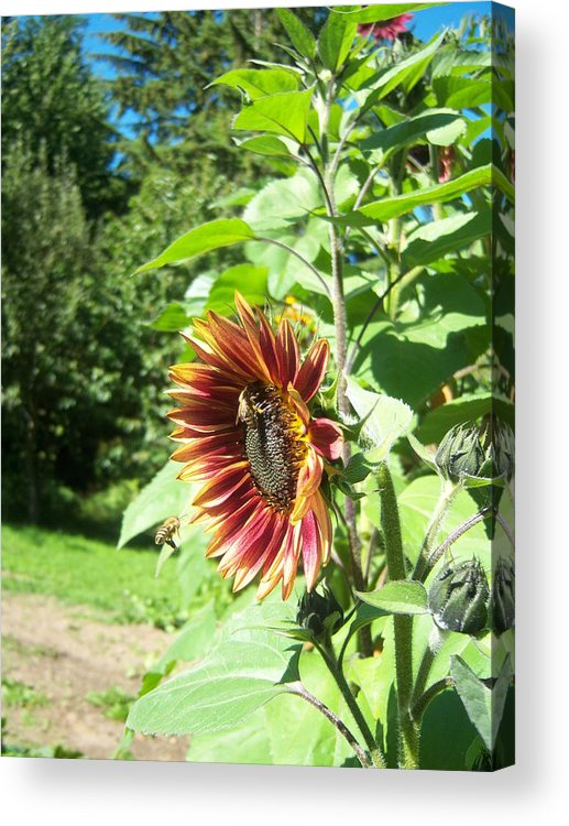 Sun Acrylic Print featuring the photograph Sunflower 137 by Ken Day