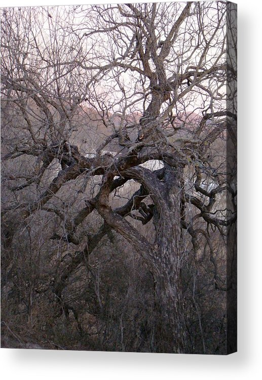 Pecan Tree Acrylic Print featuring the photograph The Mother Tree Two by Ana Villaronga