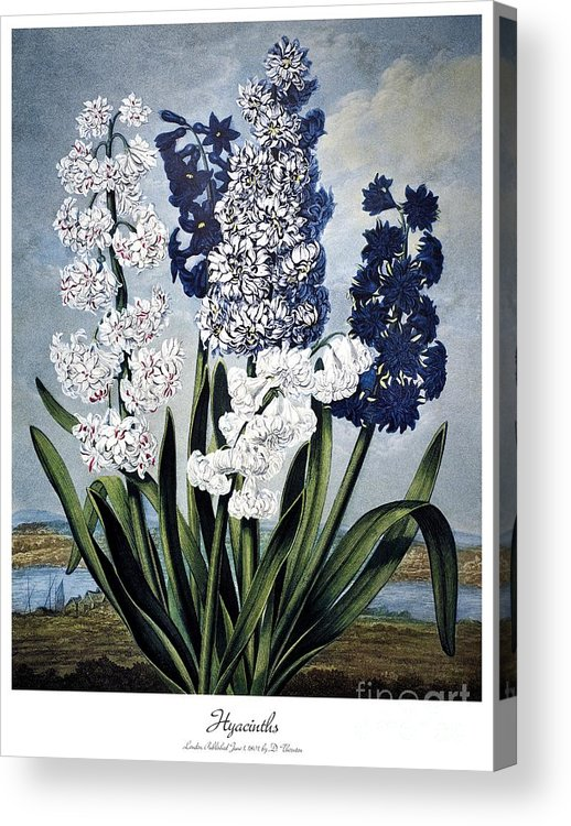 1801 Acrylic Print featuring the photograph Thornton: Hyacinths by Granger