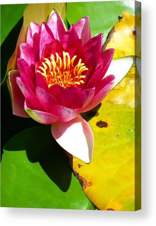 Water Lily Acrylic Print featuring the photograph Water Lily Fc 2 by Diana Douglass