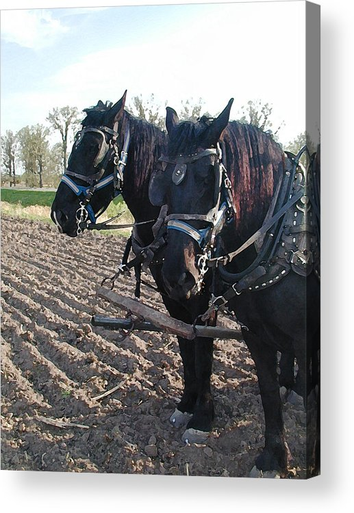 Percherons Acrylic Print featuring the photograph Working Percherons by Laurie With