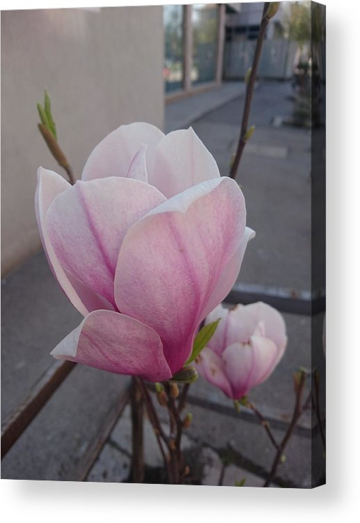 Acrylic Print featuring the photograph Magnolia by Anzhelina Georgieva