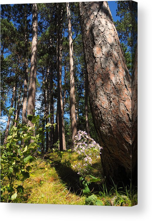 Itasca Acrylic Print featuring the photograph Red Pine Itasca by James Peterson