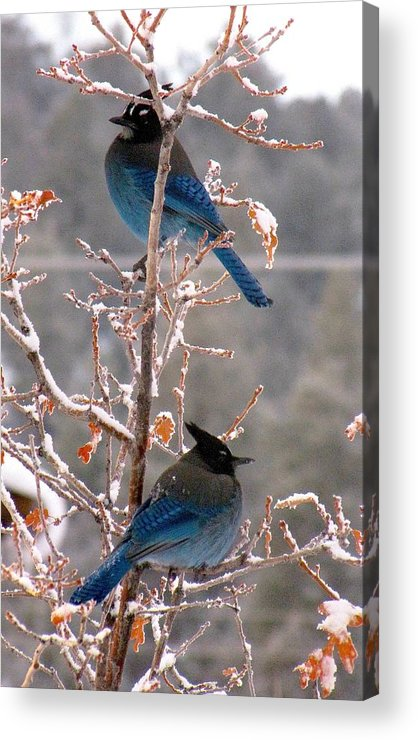 Birds Acrylic Print featuring the photograph Steller's Jays by Feva Fotos